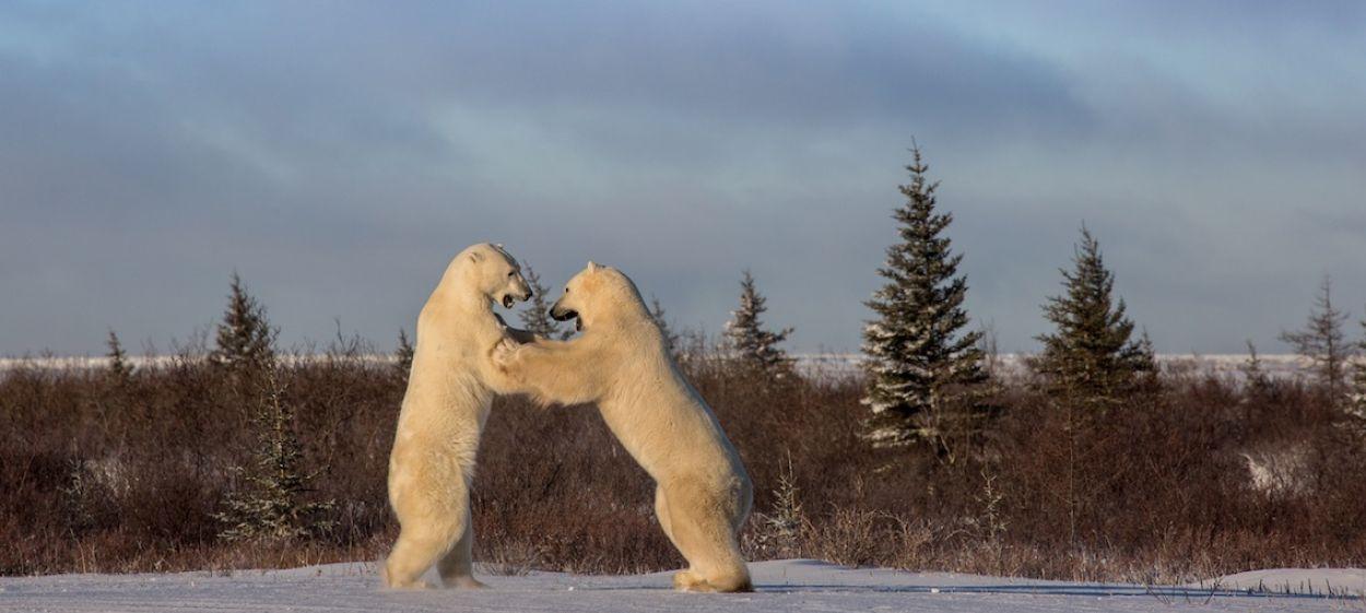 Polar Bear Summer