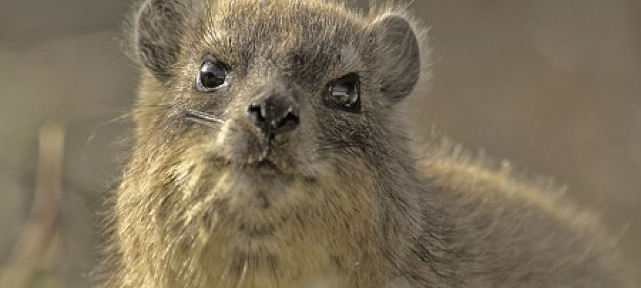 The Dassie - A South African Survival Specialist
