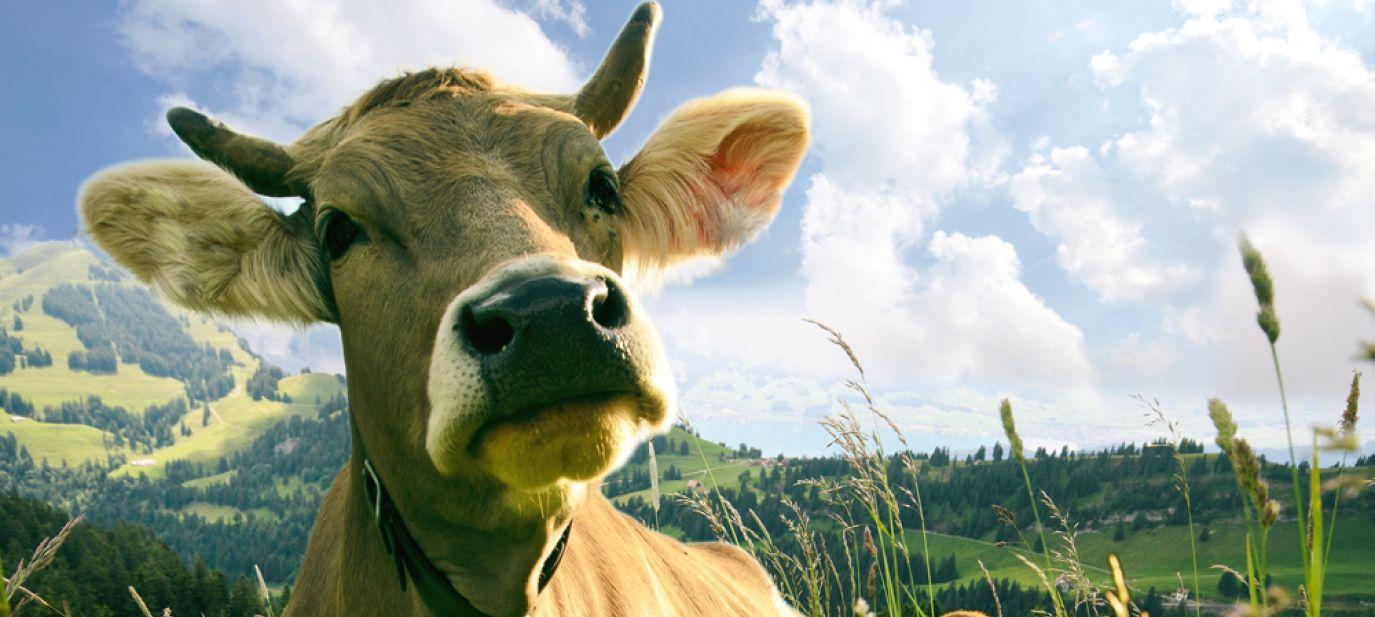 Vom Glück der Kühe